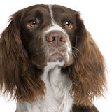 English Springer Spaniel (2 years) Royalty Free Stock Images