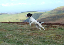 English Springer Spaniel. Springer spaniel leaping through the air in full flight in the countryside Stock Photos