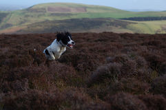 English Springer Spaniel. Springer spaniel leaping through the air in full flight in the countryside Royalty Free Stock Photos
