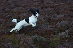 English Springer Spaniel. Springer spaniel leaping through the air in full flight in the countryside Stock Images