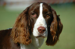 English Springer Spaniel Stock Images