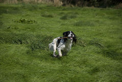 English Springer Spaniel Royalty Free Stock Photos