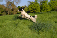 English Springer Spaniel. Flying through the air in the long grass Stock Image