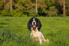 English Springer Spaniel. Sitting in the long grass Stock Image