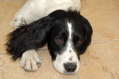 English Springer Spaniel. Puppy lying down on the floor looking up at the camera Royalty Free Stock Image