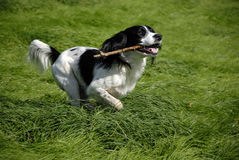 English Springer Spaniel. Running through the long grass with a stick in his mouth Royalty Free Stock Photography