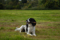 English Springer Spaniel. Lying down on the grass in a large field playing with a stick on a nice sunny day Royalty Free Stock Photography