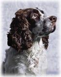 English Springer Spaniel stock photos