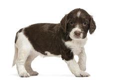 English Springer Spaniel, 5 weeks old, looking stock photo