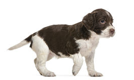English Springer Spaniel, 5 weeks old, looking Stock Image