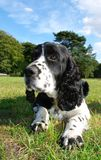 English springer Spaniel. In a green field Stock Images
