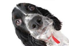 English springer Spaniel. Puppy close up Stock Photo