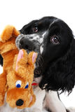English springer Spaniel. Puppy with a toy isolated on white Stock Photo