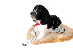 English springer Spaniel. Puppy on her bed isolated on white Stock Photography