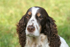 English springer spaniel. Portrait of an English Springer spaniel royalty free stock images