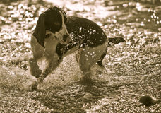 English Springer Spaniel and Ball. Photographed on a beach Royalty Free Stock Photo
