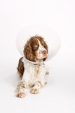 English Springer Spaniel with buster collar. On white background Stock Photo