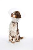 English Springer Spaniel with buster collar. White background Royalty Free Stock Images