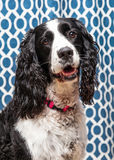 English Springer Spaniel Dog Closeup Blue Background Stock Photo