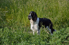 English Springer Spaniel. Dog looking at his master, command on hold, stay Stock Photography