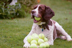 English Springer Spaniel dog with lots of tennis balls Stock Photos