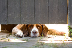 English springer spaniel dog lying down looking under gate. For intruders Royalty Free Stock Photos