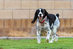 English Springer Spaniel Dog Playing in Yard. Happy and active Springer Spaniel dog running on the grass in a yard stock photos