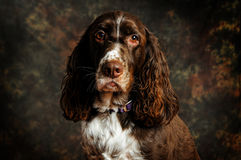 English springer spaniel dog Stock Photo