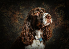 English springer spaniel dog Stock Photos