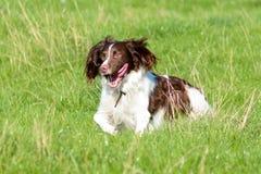 English springer spaniel dog running in long grass Stock Image