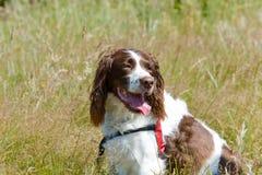 English Springer Spaniel dog sitting long grass in vineyard Stock Photography