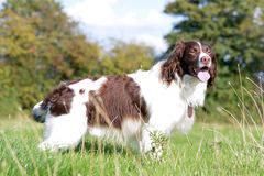 English springer spaniel dog standing in field. On sunny day royalty free stock images