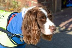 English Springer Spaniel dog walking on lead. English Springer Spaniel dog portrait walking on lead on winters day Stock Images