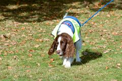 English Springer Spaniel dog walking on lead. On winters day Royalty Free Stock Photos