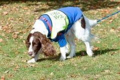 English Springer Spaniel dog walking on lead. On winters day Stock Photos