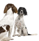 English Springer Spaniel face to face (1 year) Stock Images