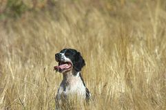 English Springer Spaniel in a Field of Golden Grass Stock Image