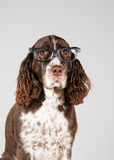 English springer spaniel in glasses Stock Photography