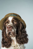 English springer spaniel with hat on Stock Image