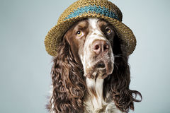 English springer spaniel with hat on Royalty Free Stock Photo