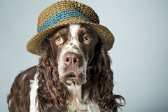 English springer spaniel with hat on Stock Images