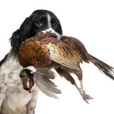 English Springer Spaniel hunting (1 year) Royalty Free Stock Photography