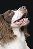 English Springer Spaniel Looking UP Stock Photos