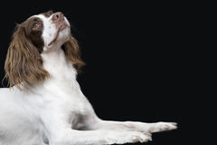 English Springer Spaniel Looking UP Stock Image