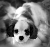 English Springer Spaniel puppy. An English Springer Spaniel puppy with a blurred background Royalty Free Stock Image