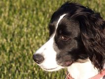 English Springer Spaniel Puppy. Profle of an English Springer Spaniel Puppy Royalty Free Stock Photo