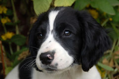 English Springer Spaniel Puppy. About nine weeks old with cute black and white face Stock Photo