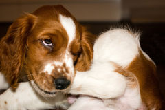 English Springer Spaniel puppy catching his hind leg Royalty Free Stock Image