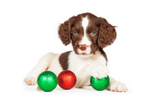 English Springer Spaniel Puppy With Christmas Baubles Stock Image