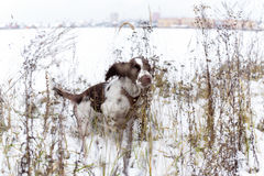 English Springer Spaniel puppy dog Royalty Free Stock Images